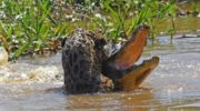 Video: Jaguar and caiman wrestle to death