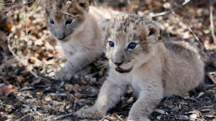 South African lion cubs conceived artificially in world first